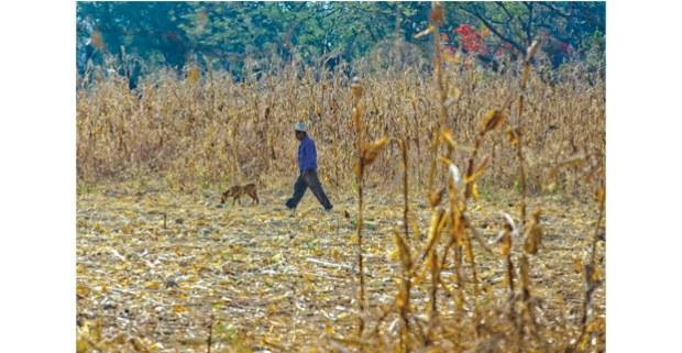 El maíz en Amilcingo, Morelos. Foto: Antonio Turok