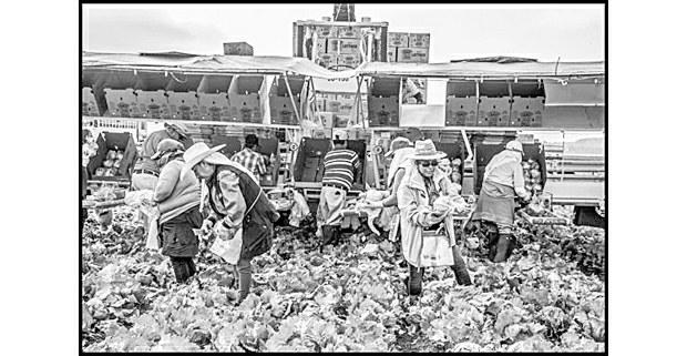 Una cuadrilla de trabajadores sindicales cosecha lechuga tras la máquina, en D'Arrigo Brothers, 2018. Foto: David Bacon