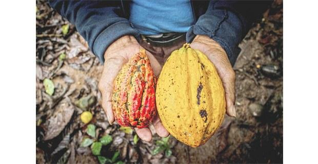 Ladino y cacao silvestre, Escolapa, Santa María Chimalapa. Foto: Elí García-Padilla