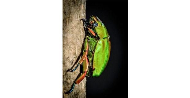 Escarabajo (Chrysina triumphalis). El Triunfo, Chiapas. Foto: Elí García-Padilla