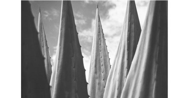 Agave. Atenco, Edomex, 2021. Foto: Mario Olarte
